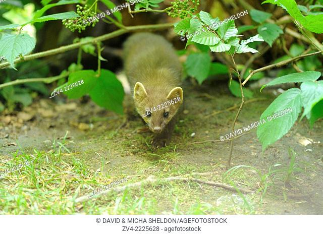 Close-up of a European pine marten (Martes martes) youngster in a forest in early summer