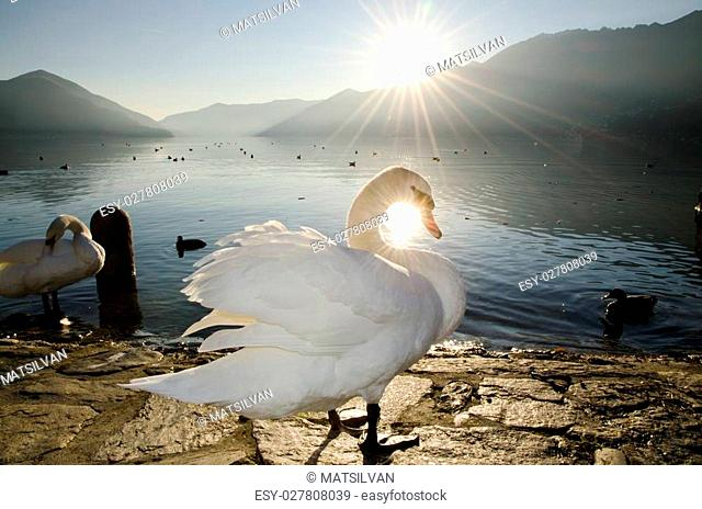 Swan in backlight on an alpine lake with sunbeam and mountains in sunset