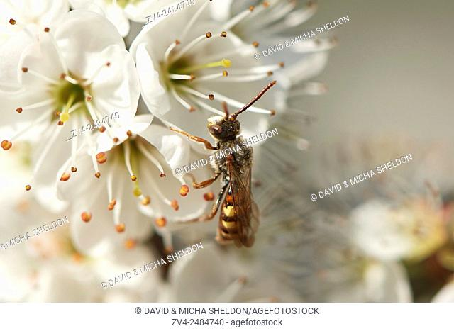 Close-up of a wild bee on a Blackthorn or sloe (Prunus spinosa) blossom in spring