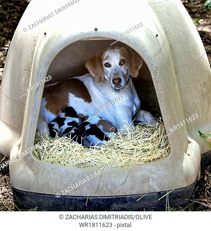 Mother hunting dog with puppies