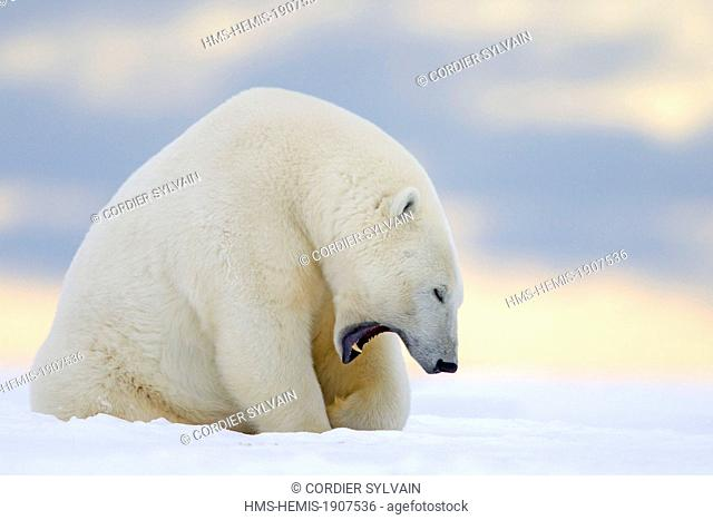 United States, Alaska, Arctic National Wildlife Refuge, Kaktovik, Polar Bear (Ursus maritimus), adult female