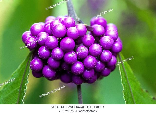 Callicarpa bodinieri var giraldii Profusion, Bodinier's beautyberry