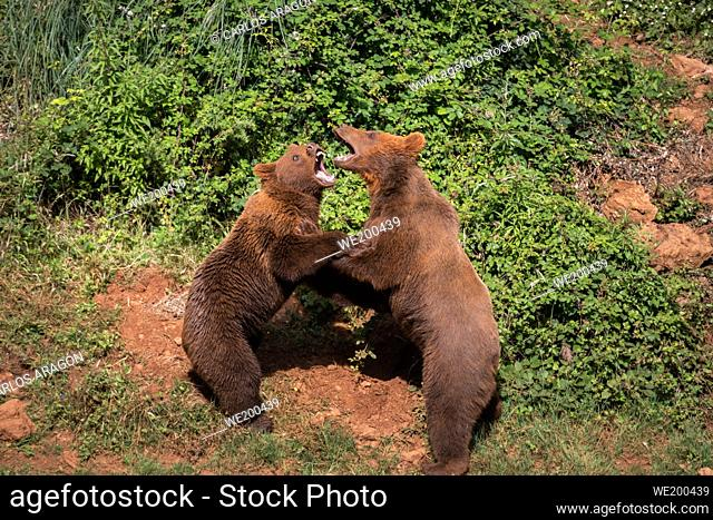 Two young brown bears, fighting