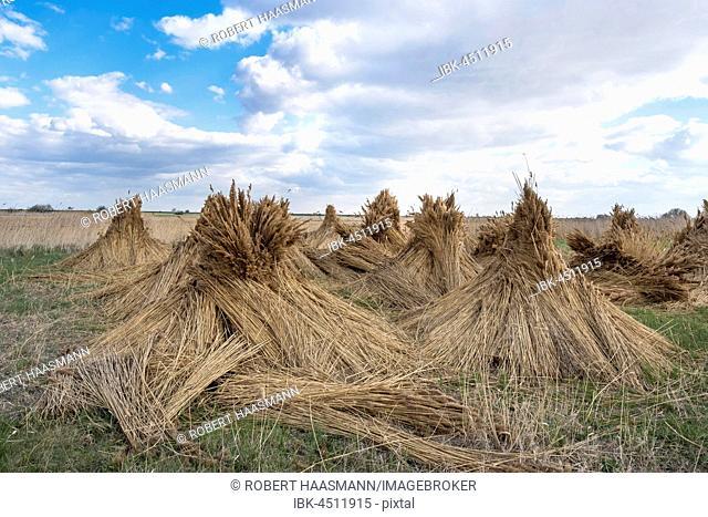 Reed cones, reed harvesting, Illmitz, Lake Neusiedl, Burgenland, Austria