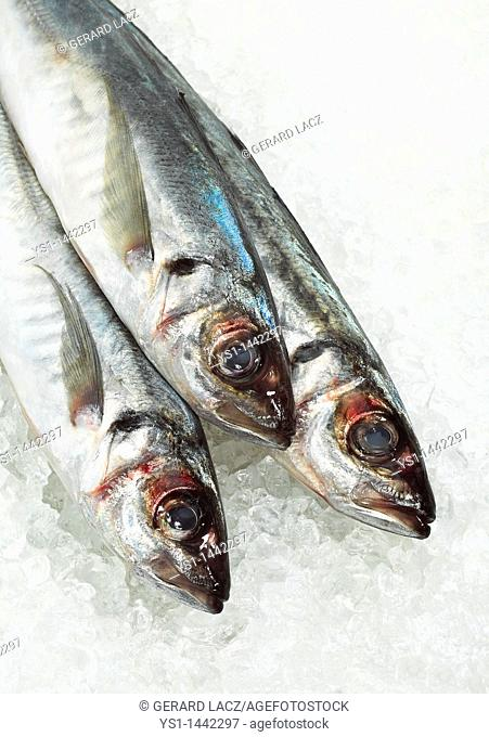 FRESH HORSE MACKEREL trachurus trachurus ON ICE