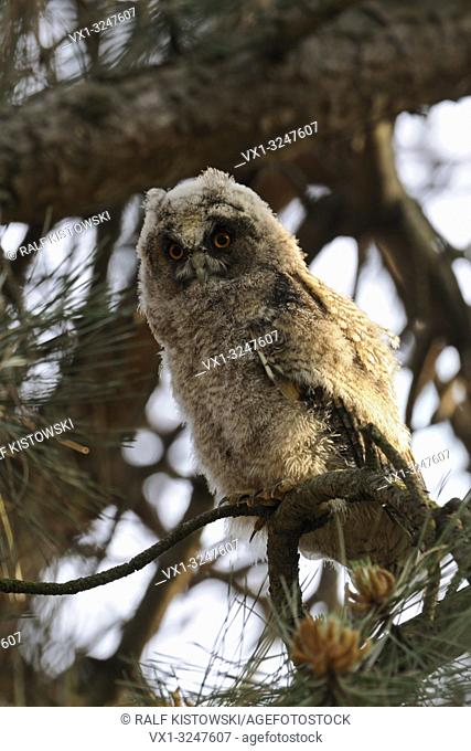 Long-eared Owl / Waldohreule ( Asio otus ), moulting chick, perched in a pine tree, attentive, watching down, funny, comical young bird