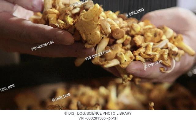 Close up footage of chanterelle mushrooms