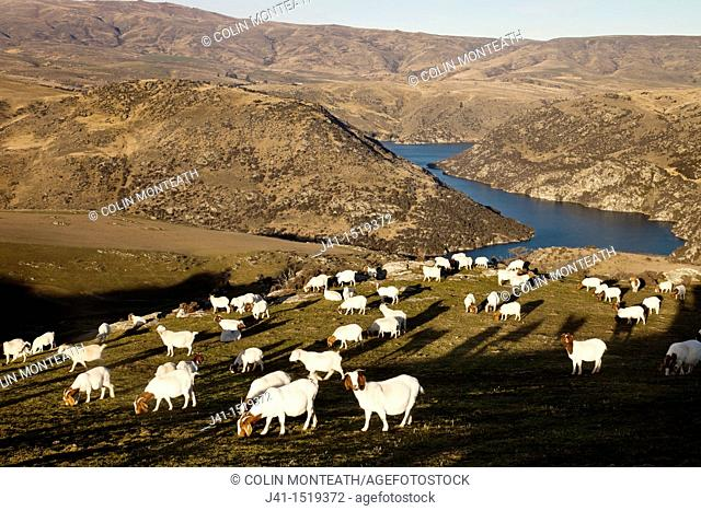 Goats grazing, arid country above Clutha river, near Roxburgh, Central Otago, South Island, New Zealand