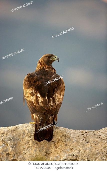 Golden eagle Aquila chrysaetos
