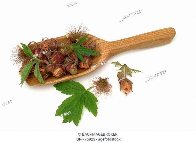 Water Avens or Purple Avens (Geum rivale), medicinal plant