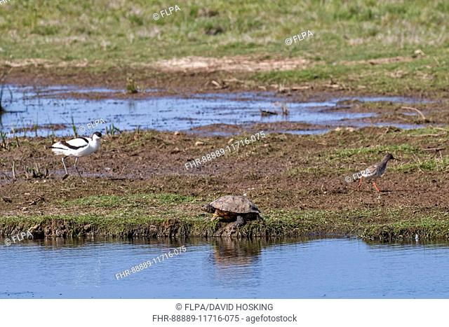 Red-eared Terrapin (Trachemys scripta elegans) With Avocet and Redshank, Deepdale Marsh, Norfolk. An invasive species from North America
