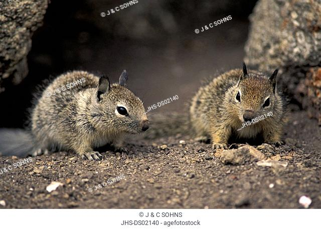 California Ground Squirrel,Citellus beecheyi,Monterey,California,USA,youngs on rock