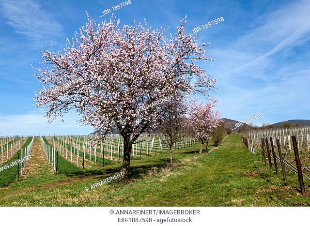 Almond tree blossom, almond tree (Prunus dulcis), Suedpfalz, Southern Palatinate, Pfalz, Rhineland-Palatinate, Germany, Europe