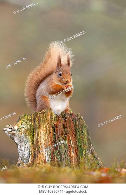 Red Squirrel - sitting on an old stump and eating in woodland - February (Sciurus vulgaris). Scotland - UK
