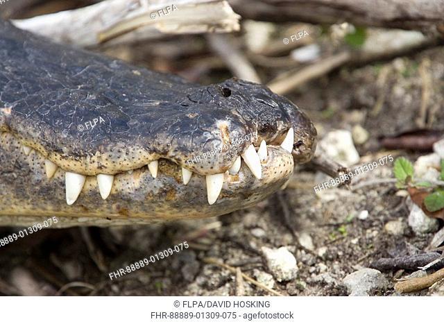 American Alligator, Alligator mississppiensis teeth