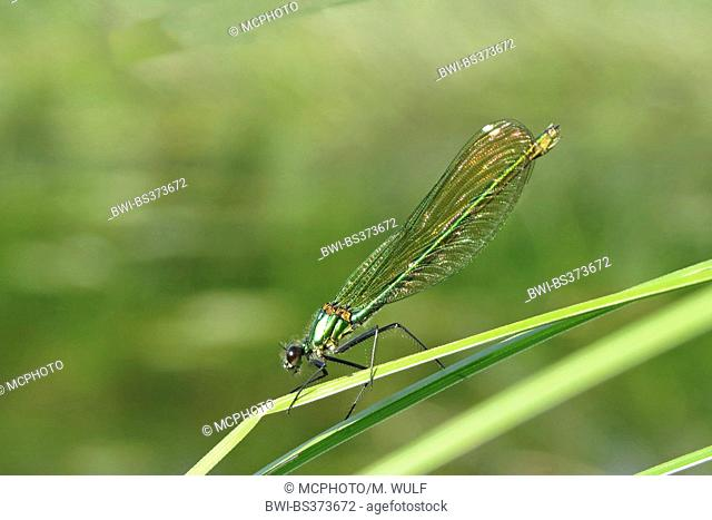 banded blackwings, banded agrion, banded demoiselle (Calopteryx splendens, Agrion splendens), female male on a leaf, Germany, Baden-Wuerttemberg
