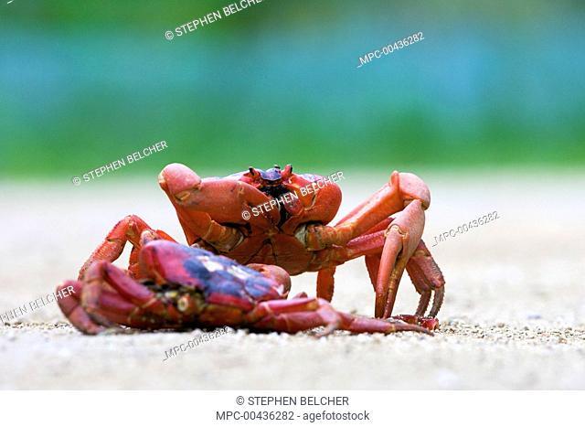Christmas Island Red Crab (Gecarcoidea natalis) feeding on the remains of another crab crushed on the road, Christmas Island, Australia