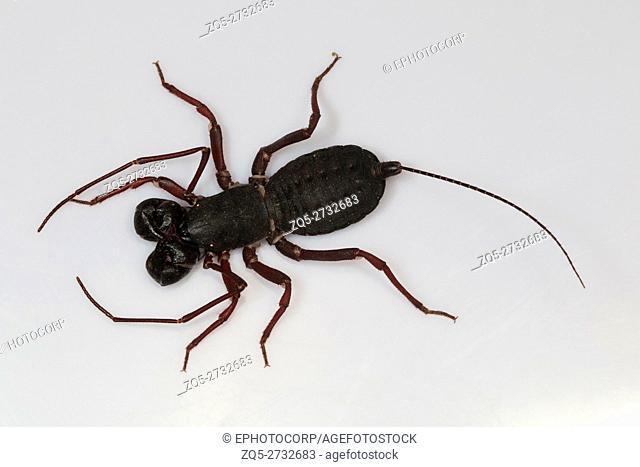 Whip tail scorpion, Labochirus sp Kengiri, Bangalore, Karnataka. Called venigron as they spray veniger from their tail tip