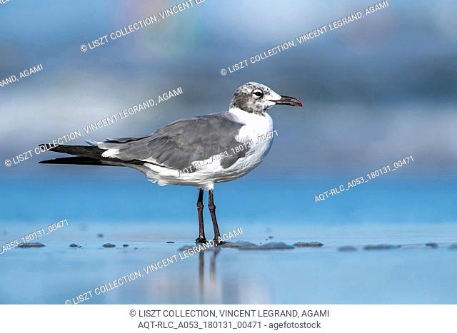 Adult Laughing Gull sitting on a beach, North Wildwood, New Jersey. August 2016., Laughing Gull, Leucophaeus atricilla