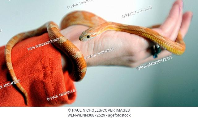 The Great Hiss-cape. By Paul Nicholls and Jon Gillespie A friendly corn snake which vanished from its reptile vivarium has returned home to its owners