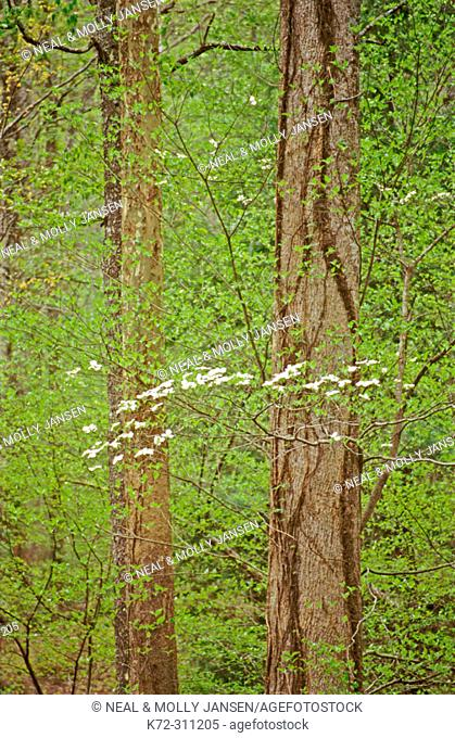 Dogwood tree. Smoky Mountains. Tennessee. USA