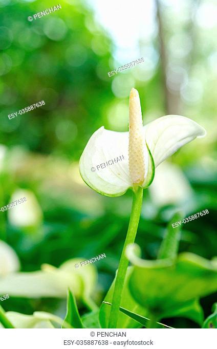 White anthurium andreanum or flamingo flower