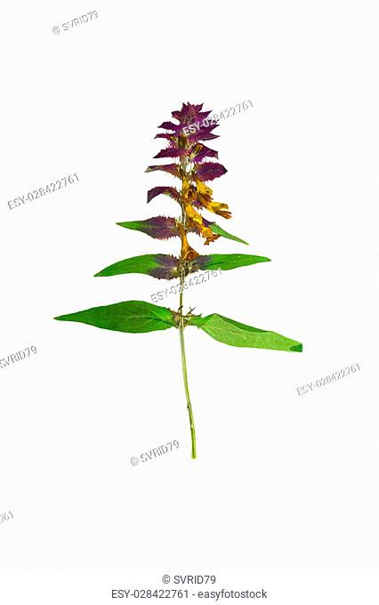 Pressed and Dried flower Melampyrum nemorosum. Isolated on white background