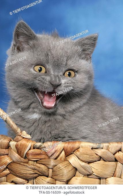 mewing british shorthair kitten in basket