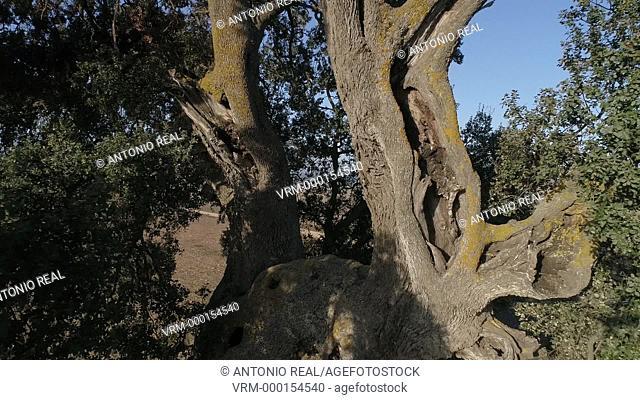 Aerial view. Holm oak. Almansa. Albacete province