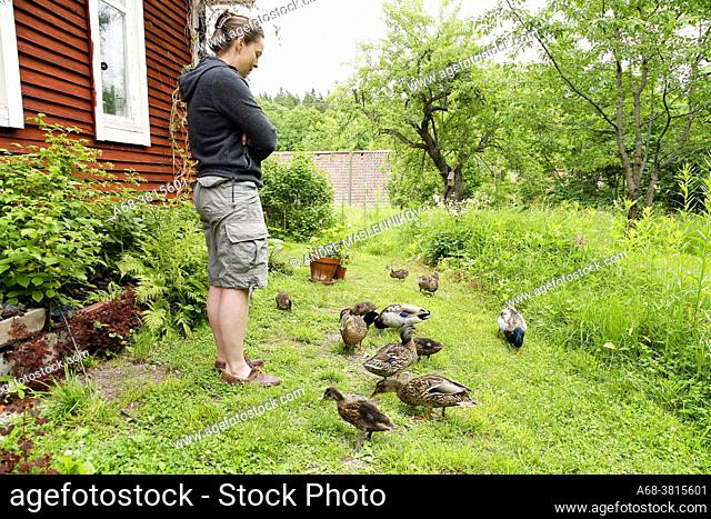Mallard with cubs visiting the garden. Model release