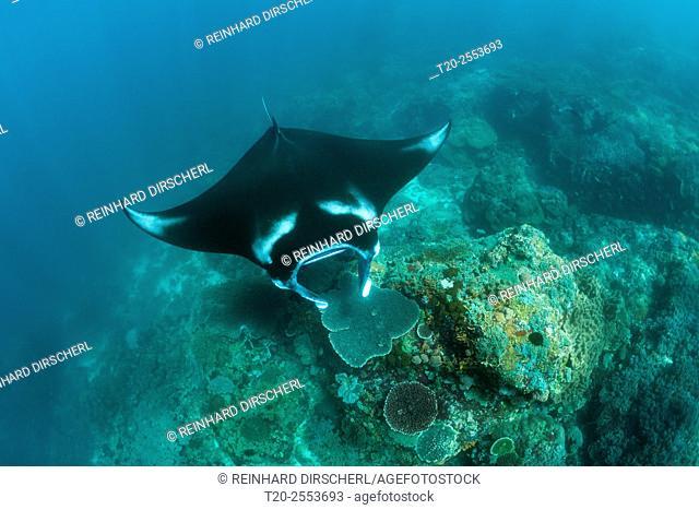 Reef Manta, Manta alfredi, Komodo National Park, Indonesia