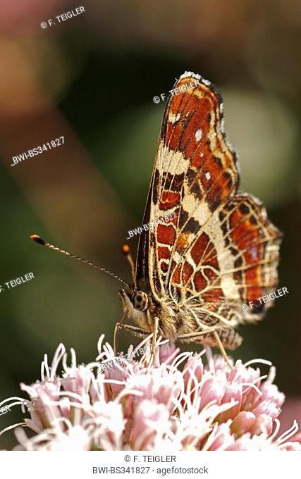 map butterfly (Araschnia levana), sitting on pink flowers, Germany