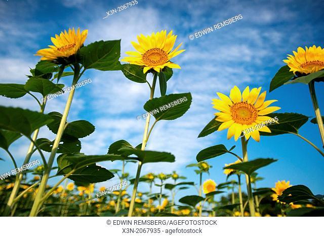 Sunflowers in Jarrettsville Maryland