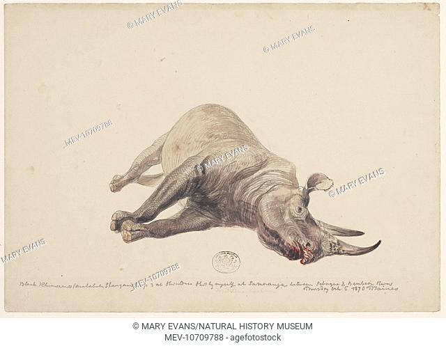 Mkombol (Black rhinoceros). Sketch 114 from a collection of original sketches by Thomas Baines
