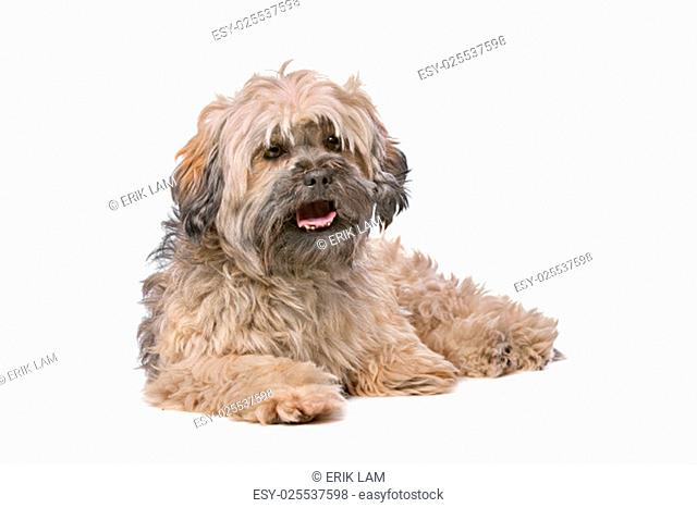 Mixed breed small fluffy dog in front of a white background