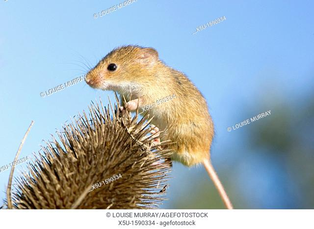 Harvest mouse on teasel seed head  The smallest British rodent weighs between 5 and 11 grammes  Unusually they have prehensile tails to help them climb  Present...