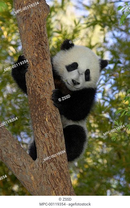 Giant Panda (Ailuropoda melanoleuca) cub climbing tree, endangered, native to China