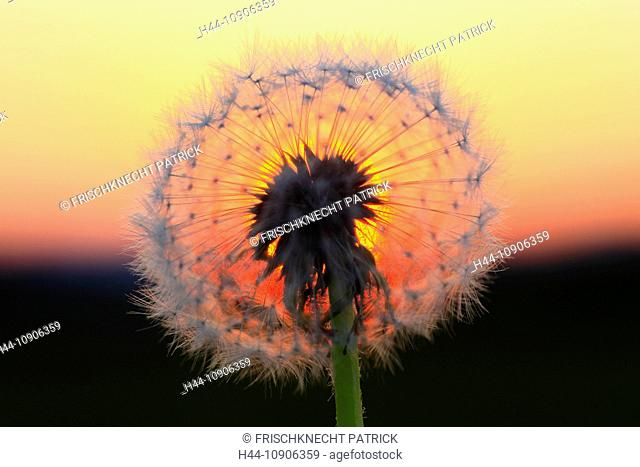 Flower, detail, dusk, twilight, flora, fly, reproduction, back light, sky, ease, light, air, dandelion, macro, Tomorrow, red, dawn close-up, plant, puff