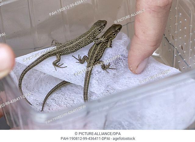 09 August 2019, Schleswig-Holstein, Kiel: Two young sand lizards sit in a container. The Schleswig-Holstein Foundation for Nature Conservation is currently...