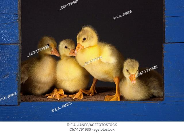 Ebdem Geese Goslings at four days old