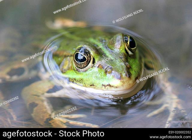 Grünfrosch in einem Teich, Grossaufnahme