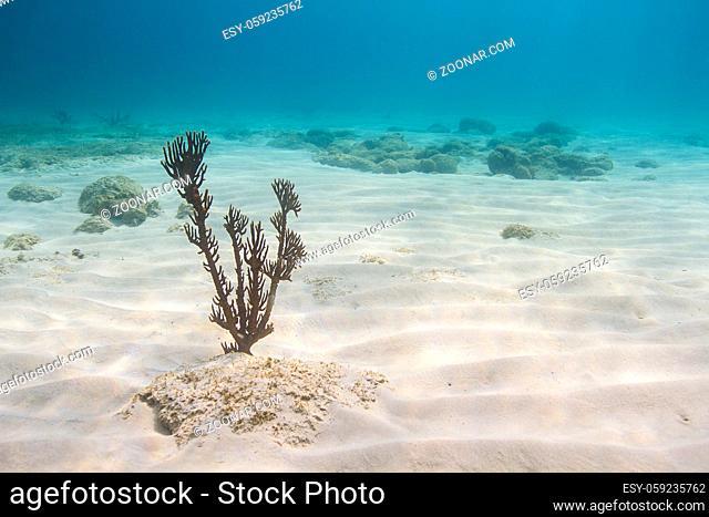 single plexaura homomalla growing at the bottom of the Caribbean sea