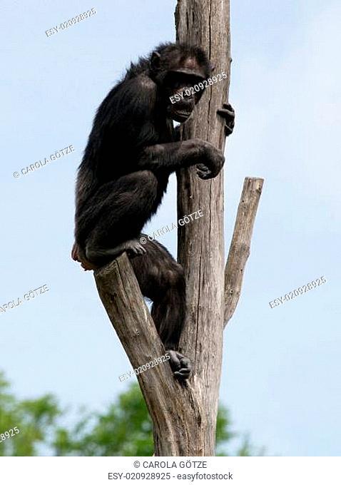 kletternder Schimpanse