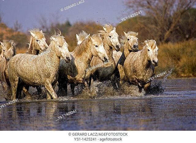 CAMARGUE HORSE, HERD STANDING IN SWAMP, SAINTES MARIE DE LA MER IN THE SOUTH OF FRANCE