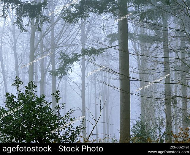 Foggy winter European silver fir pine forest (Abies alba) at Pla del Rovirol site. Montseny Natural Park. Barcelona province, Catalonia, Spain
