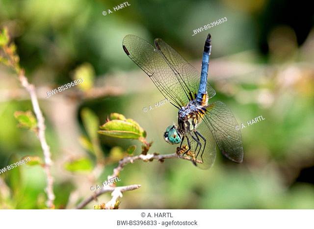 Blue dasher (Pachydiplax longipennis), male on its outlook, USA, Florida, Kissimmee