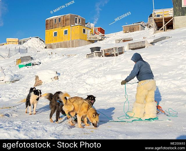 Harnessing the sled dogs. The hunter is wearing traditionl trousers and boots made from polar bear fur. The traditional and remote greenlandic inuit village...