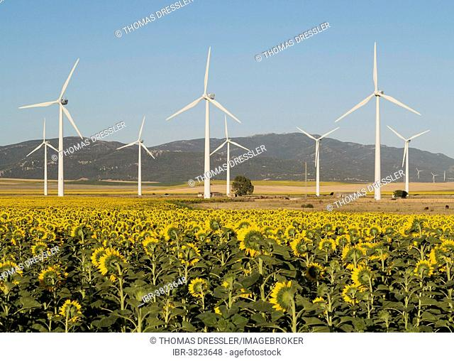 Cultivation of sunflowers (Helianthus annuus) and windmills on a wind farm near Tarifa, Cádiz province, Andalucía, Spain