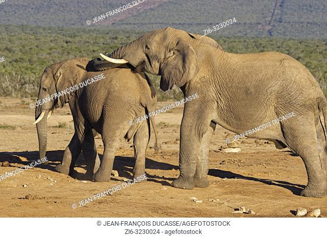 African bush elephants (Loxodonta africana), two males, at a waterhole, social interaction, Addo Elephant National Park, Eastern Cape, South Africa, Africa