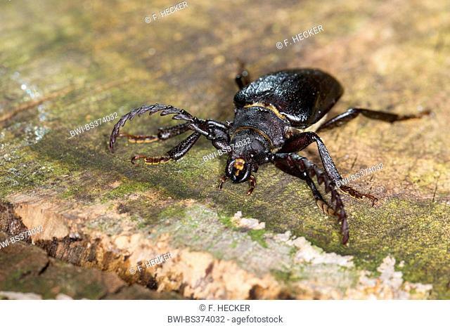 Prionus longhorn beetle, Greater British longhorn, The tanner, The sawyer (Prionus coriarius), male on wood, Germany